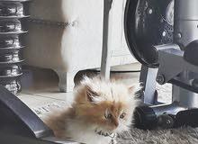 قطة انثى  اورنج شيرازيه بيور العمر 55 يوم
