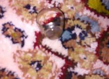 البيع خاتم