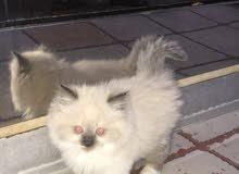 قطه مون فيس
