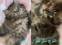 السلام عليكم موجود قطط ماشاء الله أنواع ممتازه جدا من سن شهر إلى آخر والسعر حسب
