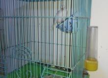 طيور حب وطيور جنة وكنار وروز
