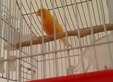 طائر دكر كنارى برتقالى  للبيع