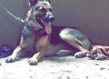 كلب جيرمان شيبرد
