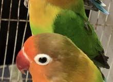 للبيع طيور الحب ازواج عندي كمية حاليا كله في الميدان وقريب بفرخون