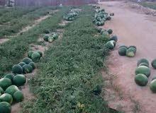 مزرعه للبيع38 فدان مسجلة قابلة لتجزئه حتى5فدان