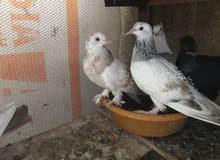 مجموعة طيور زينة للبيع