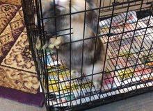 ارنب امريكي ( نثيه)