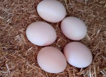 بيض دجاج بلدى مخصب +بيض فرى