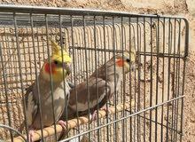 طيور الكوكتيل