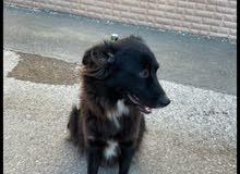 كلب انثى جميل قابل لي تخفيض السعر والكلب معه جواز