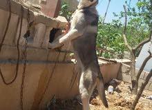 كلب ألاسكا للبيع أو البدل على حمام