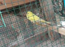 كوبية باقلينو اللون اصفروفيه شويه اخضر
