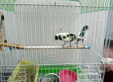 canary bird for sale 350 with cage.