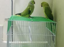 PAIR INDIAN RING NECK (MALE FEMALE)