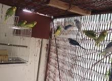 Budgie Love birds