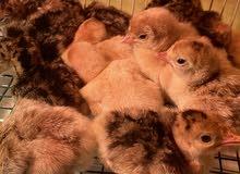 دجاج رومي من عمر يوم الى عمر 8 اشهر