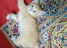 قطه صغيرة