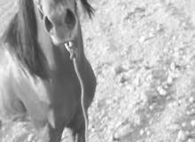 حصان عربي واهو