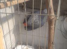 زنجباري شغال عمر 6سنوات سبب البيع موت الوليفه