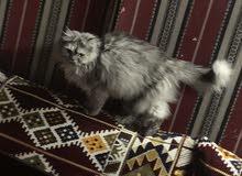 قططه هملايا