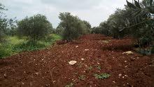 مـزرعة زيتون منتج للبيع