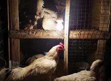 دجاج هراتي ابيض للبيع