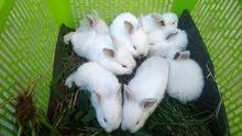 بطاريات أرانب