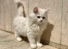 قط شيرازي ذكر للبيع ب 55 ريال