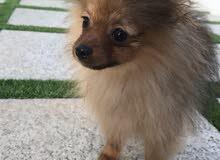 كلب ميني بومرانيان (Pure Mini Pomeranian)