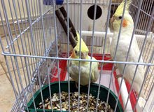 cockateil birds for sale