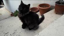 قطة أيرانية العمر 4 شهور