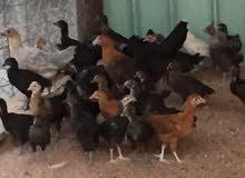 صوص دجاج العمر 3 سهور