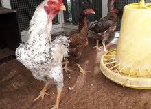 دجاج شامو وفيتنامي أسيل للبيع كما هو مبين السعر بالصور