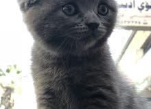 قطط سكوتش 4 قطط ( 2 لون رمادي/ 2 ابيض)