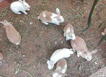 ارانب بلديه 7 ارانب سكان واد السير