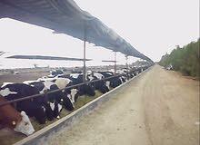 مزرعة للانتاج الحيواني للبيع
