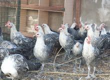 دجاج فيومي المصري