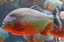 مطلوب سمك سنيك هيد او بيرانا اصلي بسعر معقول