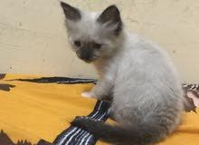 قط هيمالايا أنثى بصحة جيدة العمر شهر ونص