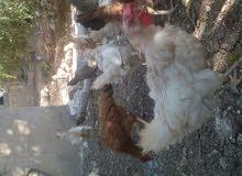 دجاج و ديوك للبيع بسعر مغري،0799130743