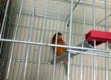 طيور كناري للبيع او البدل