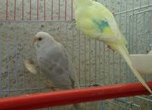 مجموعة أزواج طيور