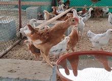 دجاج العمر 50 يوم