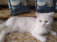 قطة شيرازيه