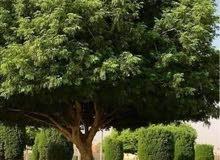 للبيع شتلات أشجار اللبخ