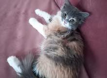 انتي شيرازي العمر 4 شهور