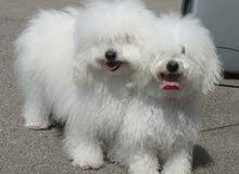 كلب جريفون ابيض ذكر من فصيله toys dog