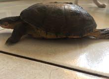 Female Baby Turtle  طفلة سلحفاة انثى