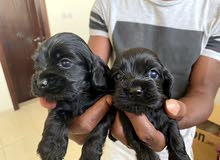 Coker spaniel puppies