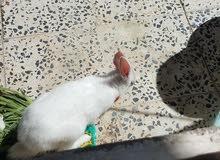 ارنب ذكر للبدل بارنب انثى